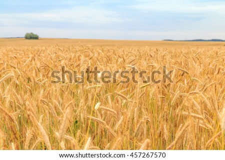field with ripe ears of barley