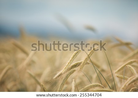 Field with ripe wheat  - stock photo