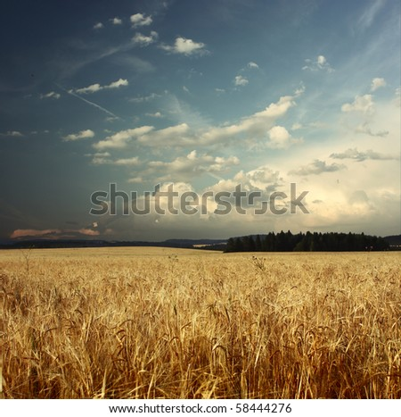 Field with ripe wheat and blue sky with clouds