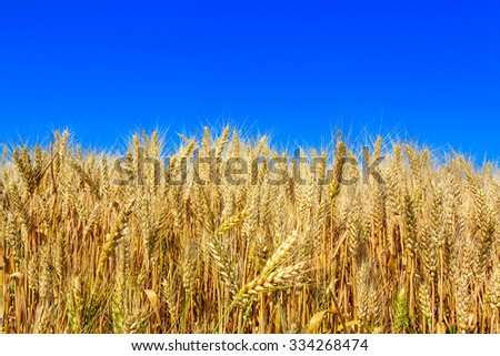 field with ripe yellow wheat on blue sky background - stock photo
