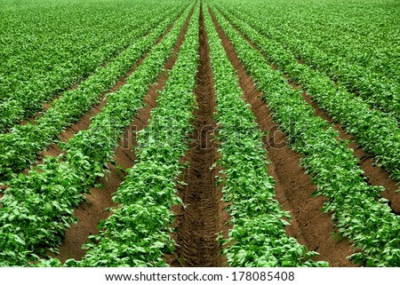 Field with rows of vibrant green crop plants on dark fertile soil - stock photo