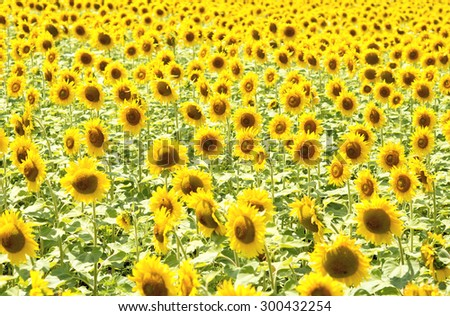 Field with sunflowers. - stock photo