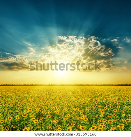 field with sunflowers and sunset in clouds - stock photo
