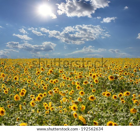 Field with sunflowers and the blue sky - stock photo