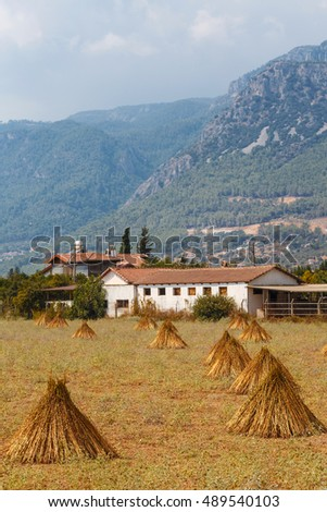 Field with the drying sesame seeds on a background of mountains in Marmaris, Turkey