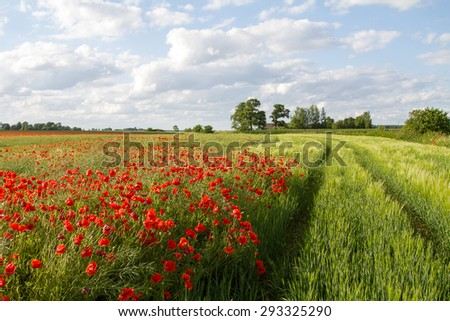 field with tvetushchy poppies