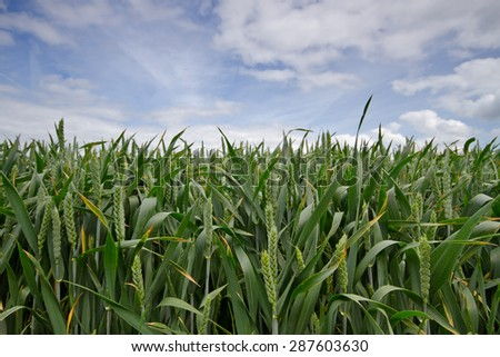 Field with unbearded wheat under a sky with clouds