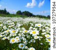 field with white daisies under sunny sky - stock photo