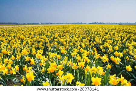 Field with yellow daffodils on april morning in the sun - stock photo