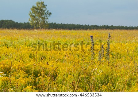 Field with yellow wild flowers on the meadow, sunny day. - stock photo