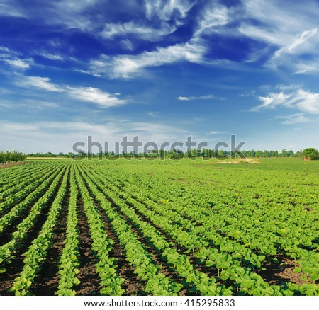 field with young sunflower sprouts