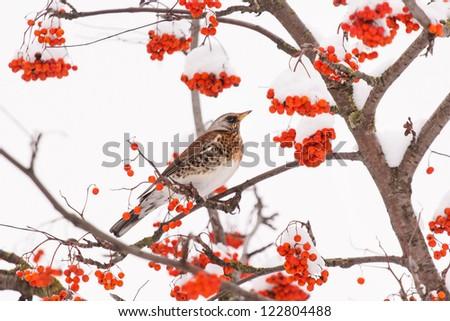 Fieldfare on the tree - stock photo