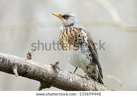 Fieldfare Thrush on a branch.Turdus pilaris. - stock photo