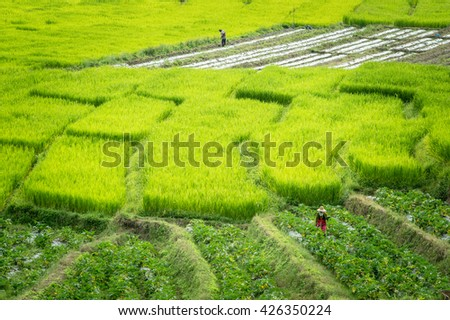Fields In Thailand