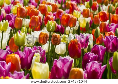 Fields of beautiful colorful tulips in spring. - stock photo