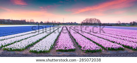 Fields of blooming hyacinth flowers at sunrise. Beautiful outdoor scenery in Netherlands, Europe. - stock photo