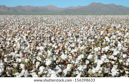 Fields of Cotton