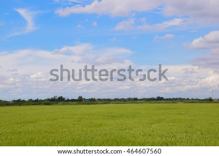 Fields of golden rice grains that are beautiful in the blue sky with clouds rushing past.