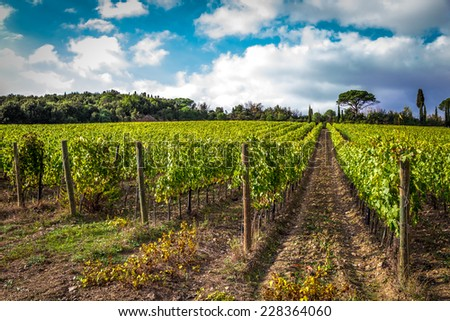 Fields of grapes in the autumn, Italy - stock photo