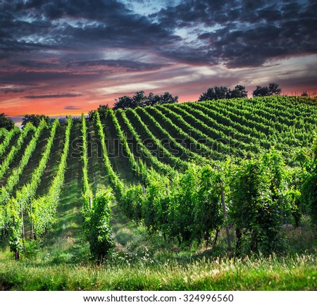Fields of grapes in the summer, Tuscany. Italy  - stock photo