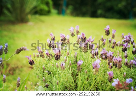 Fields of lavender - stock photo