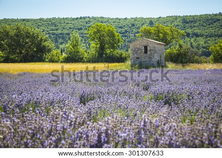 Fields of Lavender in Provence, France