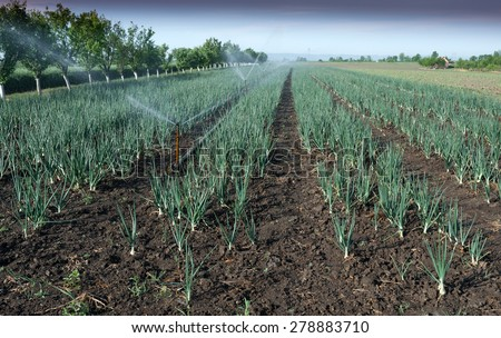 fields of onion with irrigation system - stock photo