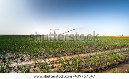 fields of onion with irrigation system