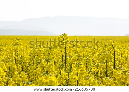 Fields of rape at sunset - stock photo