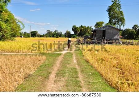 fields of rice, Laos - stock photo