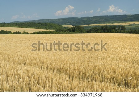 Fields of ripe barley on a clear summer day. - stock photo