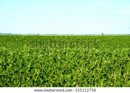 Fields of soy plants in a cultivated farmers field - stock photo