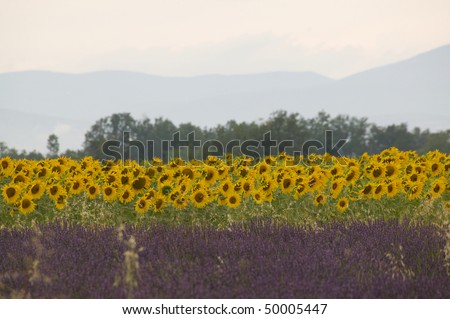 Fields of sunflowers and lavender sit next to each other, with trees and hills in the background. Horizontal shot.