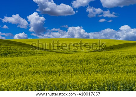 Fields of  yellow canola flowers in Washington state
