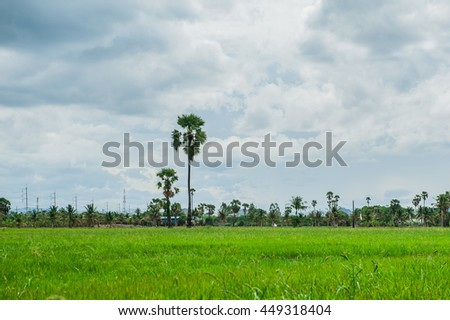 fields, Palm tree, Palm tree in a rice field with blue sky. in Thailand. - stock photo