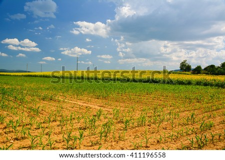 fields planted with sunflowers in Tuscany in the province of Siena