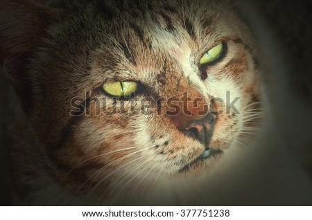Fierce face of cat - stock photo