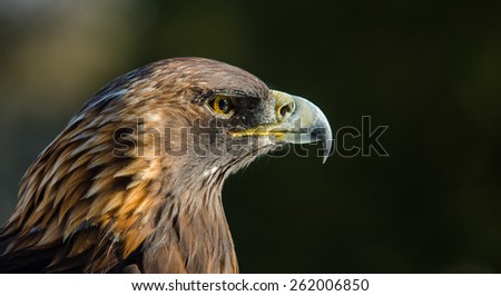 Fierce predator - stock photo