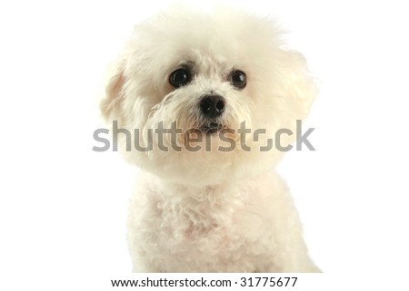 Fifi the Bichon Frise  isolated on white