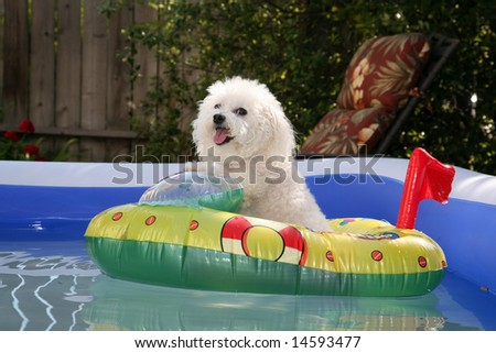 fifi the world famous Bichon Frise enjoys a Hot Summer Afternoon in her float toy boat in her personal swimming pool - stock photo