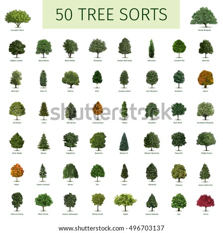Hornbeam tree stock images royalty free images vectors for Types of trees and their meanings