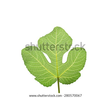 Fig leaf, the first garment worn by Adam and Eve according to the Old Testament, isolated on white.