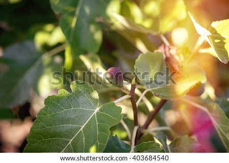 Fig on the branch of a fig tree with the beautiful light leaks during a sunny summer day  - stock photo