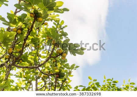 Fig tree and green figs , closeup - stock photo