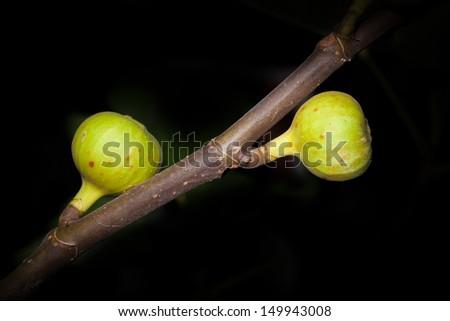 Fig tree fruit for background use - stock photo