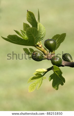 Fig tree with young fruits - stock photo