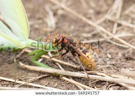 Hornet Vs Praying Mantis Hornet Stock Im...