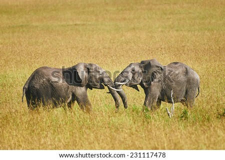 Fight between two male elephants in a park of Kenya - stock photo