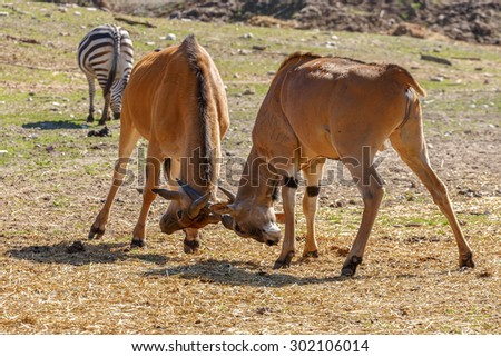 Fight of Eland antelope with each other on grass - stock photo