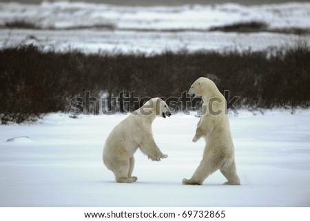 Fight of polar bears. Two polar bears fight in snowing tundra with undersized vegetation. - stock photo